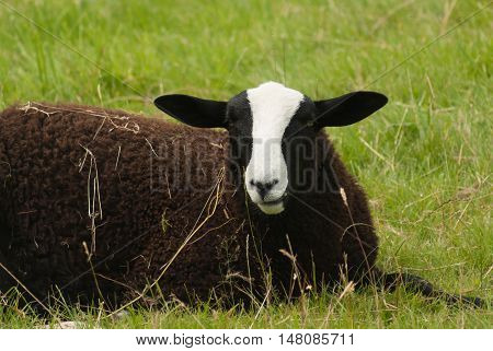 Balwen Welsh Mountain sheep a rare breed with it's distinctive black coat and white blaze originating from the Tywi (Towy) Valley of Wales