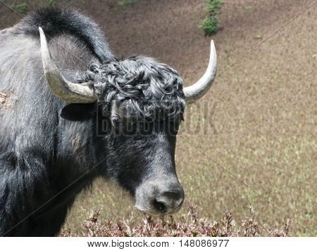 Head of yak Himalayan wild cow Bhutan