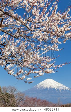 Chinese plum flower and Mountain Fuji in spring season