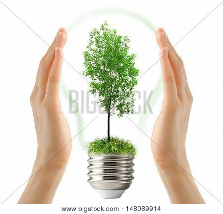 Green Ash Tree Inside Lamp In Hands