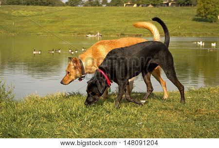 Black dog walking side by side with tan dog along a pond with Canada geese in background