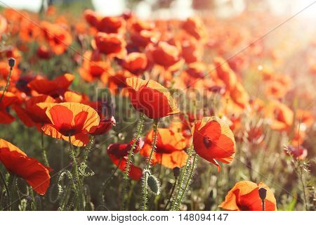 Red poppy flowers field on close up