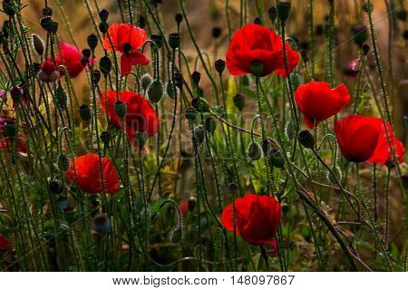 Wild field with papaver flowers. Photography of nature.