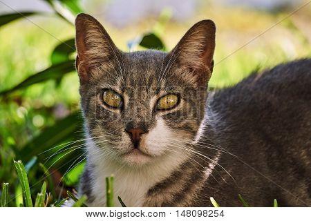 Portrait of gray cat on the Greek island of Lefkada