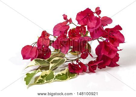 Green And White Bougainvillea Leaves And Pink Flowers