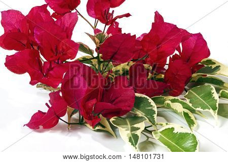 Dark Pink Bougainvillea Flowers With Variegated Leaves