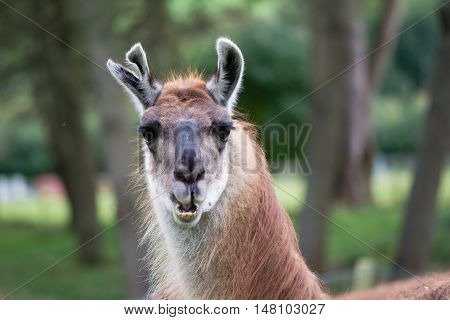 Llama with torn ear head and neck. Domesticated camelid raised for wool in British countryside with old injury to ear and mouth open showing teeth