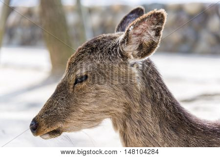 Close up view of sacred deer in Miyajima island, Japan. The island is famous for the Itsukushima Shrine, a UNESCO World Heritage Site, and for its deers that roam freely and are thought of as sacred.