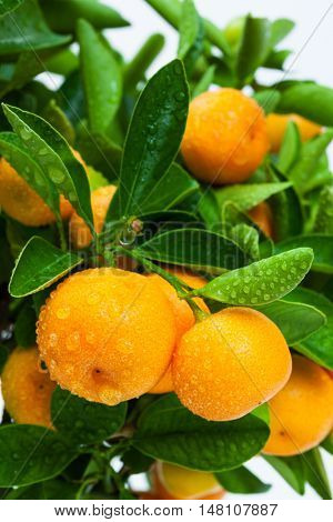 ripe tangerine tree fruits close up