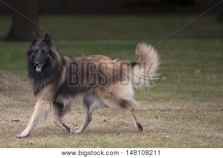 Dog Belgian Shepherd Tervuren running in woods