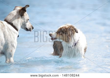 Two dogs in a swimming pool one growling
