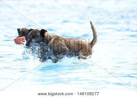 Two dogs in swimming pool Belgian Shepherd Malinois blue water