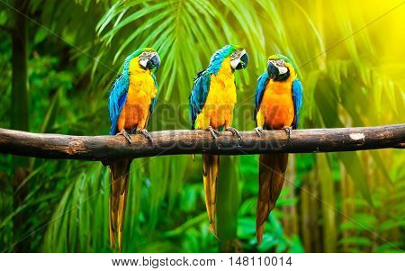 Three multi-colored big parrots sit on one branch in a row in the jungle