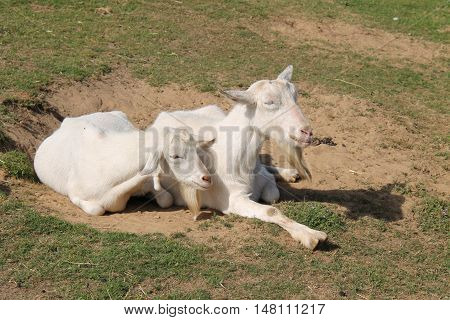 A Mother and Kid White Goats Sat Together in the Sun.