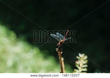 Beautiful dragonfly insect with blue fragile wings on branch on green and black background outdoor clolseup
