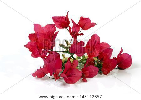 Studio Shot Stem Of Dark Pink Bougainvillea Flowers