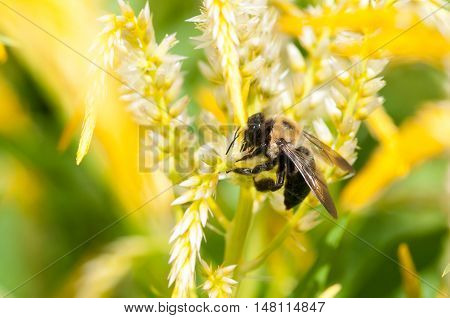 An eastern carpenter bee collecting pollen from a flower.