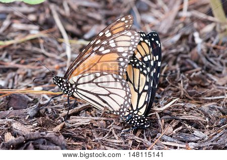 Two monarch butterflies mating in late summer.