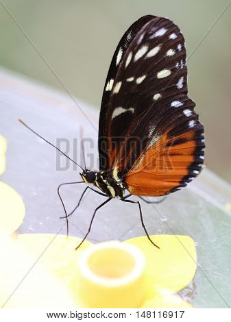 Tiger Longwing Butterfly sitting on something yellow