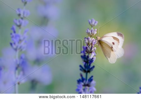 Pieris Brassicae, The Large White, Also Called Cabbage Butterfly