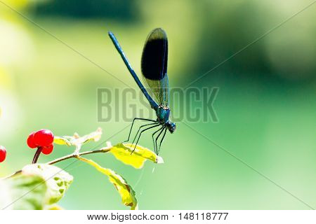 Broad-winged Damselfly, Dragonfly