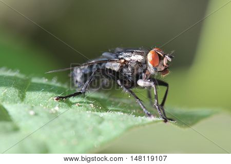 Close up of a fly on a green leaf