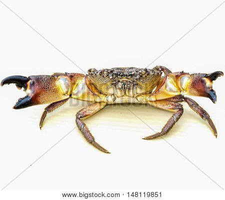 One of the most common species of the Black Sea crab - stone crab