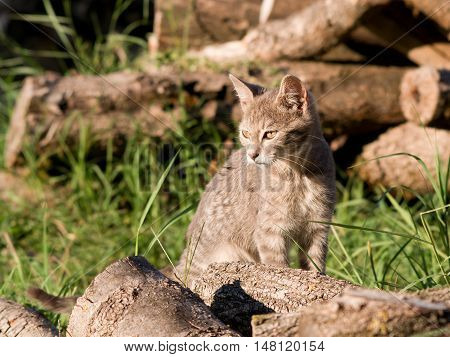 The Domestic cat hunts in the woodpile.