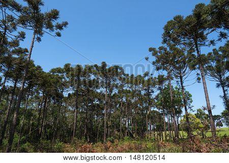 Araucaria tree (Araucaria angustifolia) coniferous enviroment forest