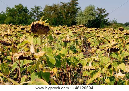 The sunflower (Helianthus annuus) is an important crop.