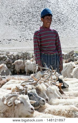 LADAKH, INDIA - JUNE 20, 2012: Nomad milking goats in Ladakh, Jammu and Kashmir State of North India