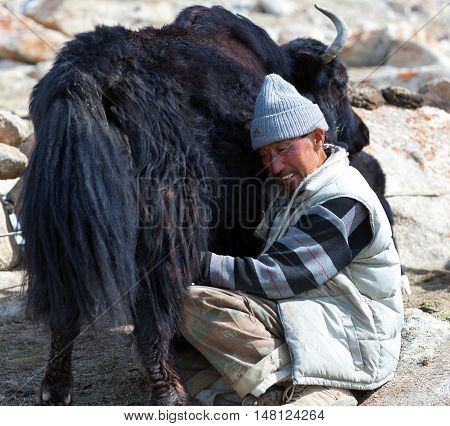LADAKH, INDIA - JUNE 15, 2012: Tibetan nomad milking yak cow by hands in Ladakh, Jammu and Kashmir, North India