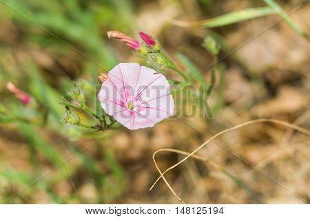 Beautiful wild Crimean bellflower under summer sunlight