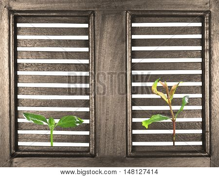 green seedling poke on the ancient wood window on white for your ideas; included clipping path