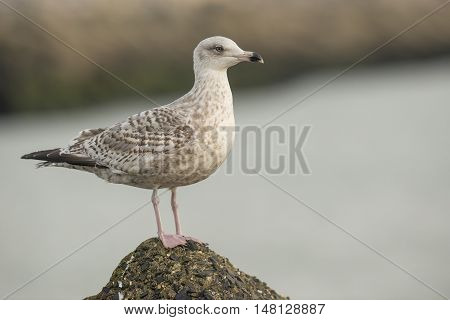 European Herring Gull (Larus argentatus) juvenile standing on a Rock in a Harbour