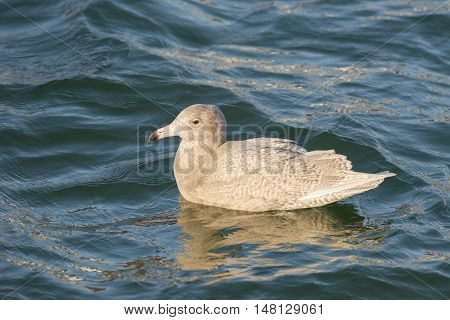 Glaucous Gull (larus hyperboreus) in first winter plumage swimming in water of a Harbour