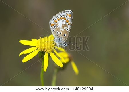 Brown Argus (Aricia agestis) butterfly resting on Narrow-leaved Ragwort (Senecio inaequidens)