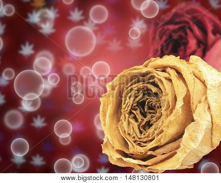 beautiful dry white and red rose on bubble with blur maple leaves bokeh background
