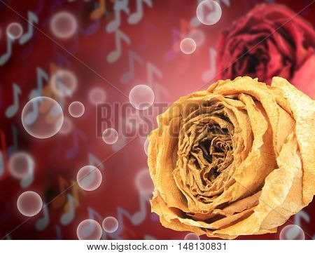 beautiful dry white and red rose on bubble with blur note bokeh background
