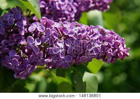 lilacs, bush, beautiful, background, branch, spring, summer, garden,