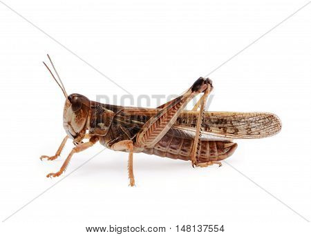 Brown locust isolated on the white background