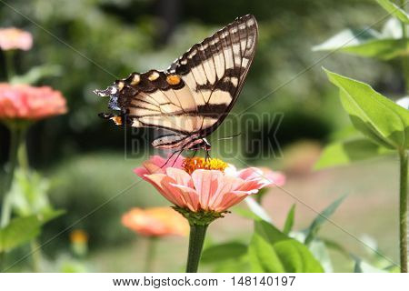 A butterfly perched atop a garden flower.