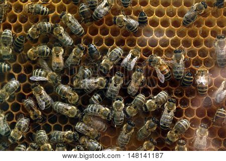 Bees on a comb frame making fresh honey