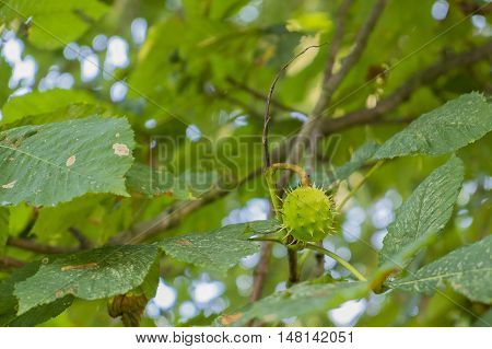 conker seed case on horse chestnut tree