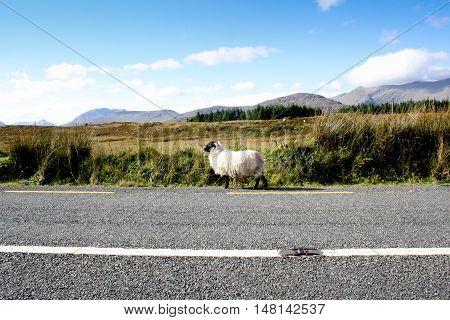 Wandering sheep in Irish road near Ring of Kerry