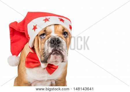 Grumpy English bulldog pup with Christmas hat on the headisolated on white background and blank space