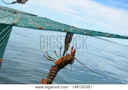 Lobster haging from a trap before being dropped back into the sea. One claw gripping the wire.
