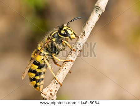 Large Wasp On Thin Branch