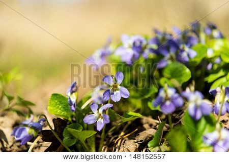 violet flowers growing in the spring in the forest