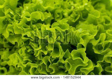 Green lettuce leaves in the home garden
